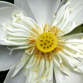 A lotus flower growing in a garden on Marble Mountain